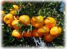 Olhe às tangerinas!