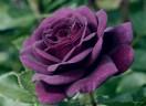 As roseiras do Seu Antônio!